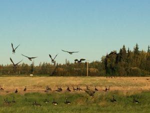 Geese feeding